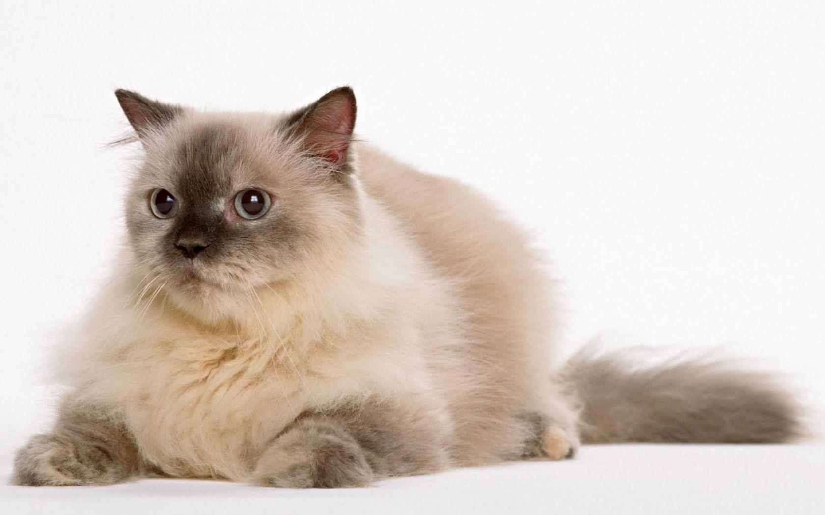 бирманская кошка обои на рабочий стол № 539390 без смс