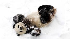 Панда и Снег