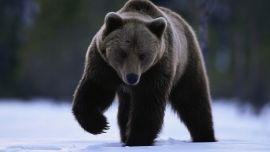 Медведь Символ