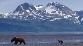 Alaska Wallpaper Bear