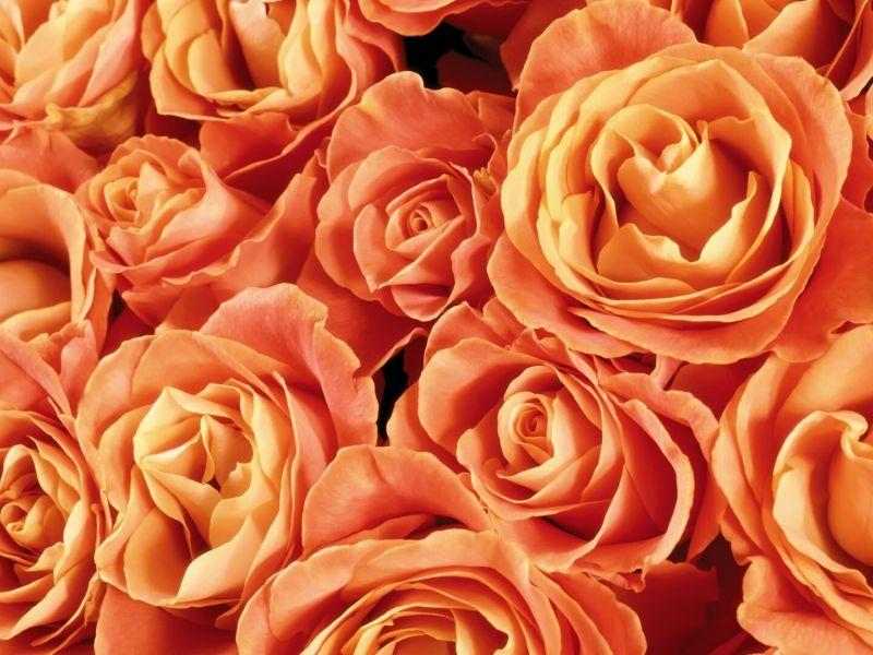 Обои миллион роз на рабочий стол